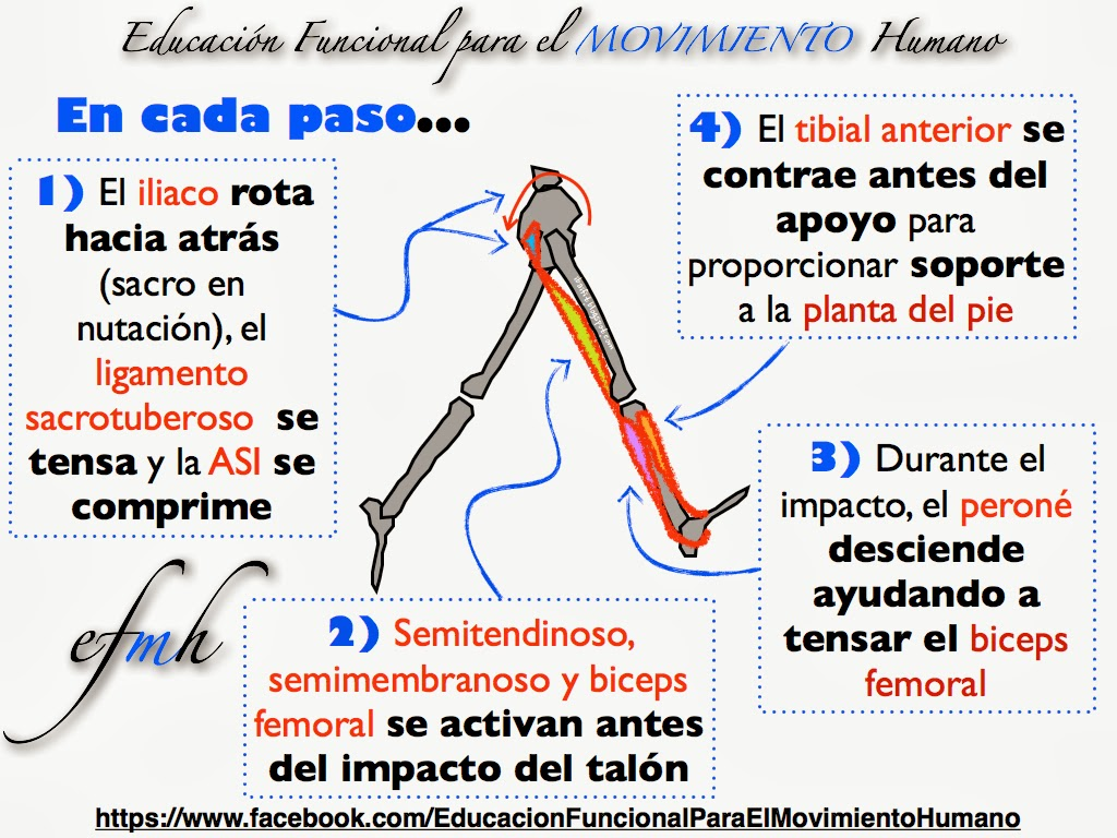 fascia toracolumbar | EFMH.ES