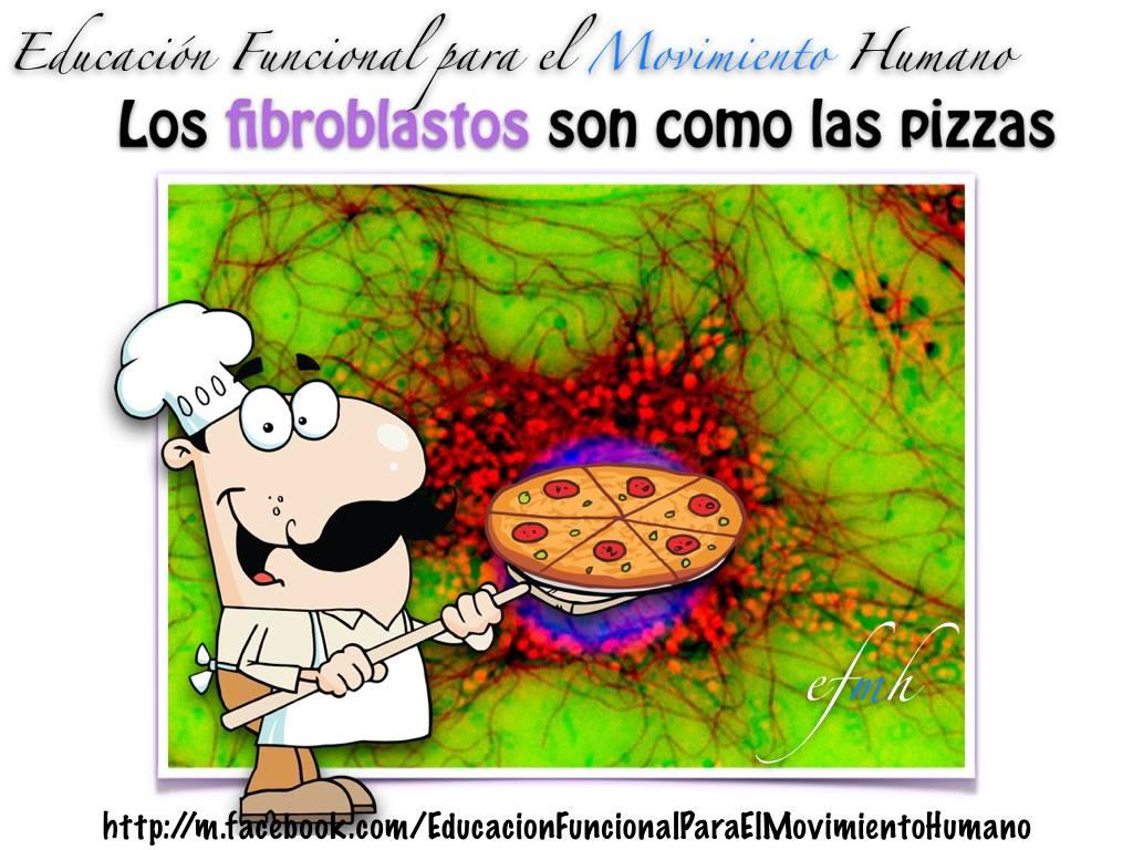 Los fibroblastos son como las pizzas