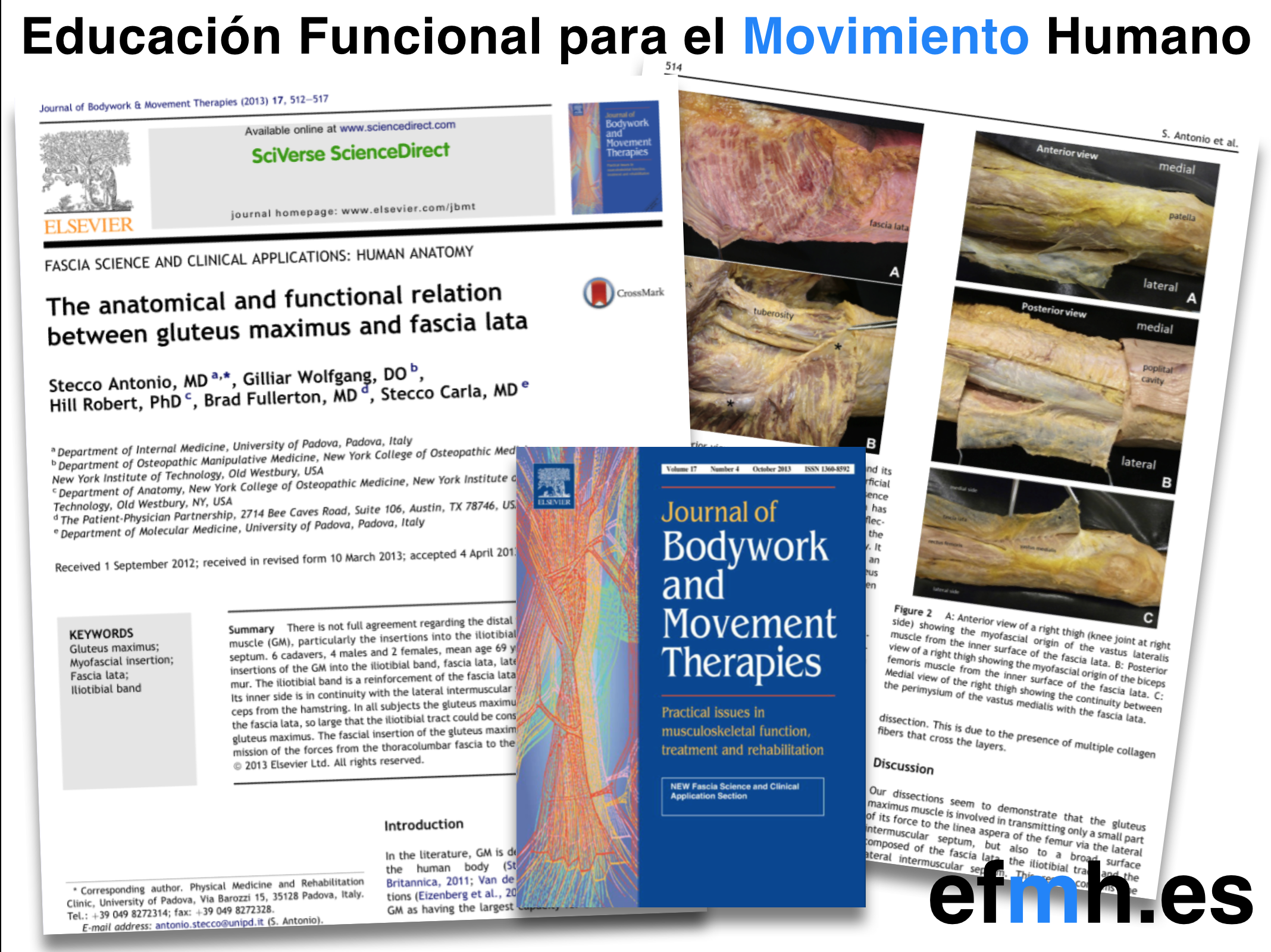 anatomical and functional relation between gluteus maximus and fascia lata