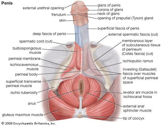 Anatomía del pene y sus fascias. Fuente: Encyclopedia Britannica Inc (2008)