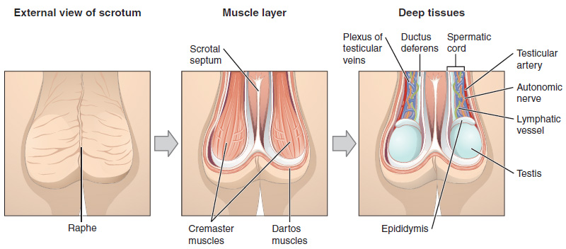 The scrotum, muscle layer and contents. By OpenStax College [CC BY 3.0], via Wikimedia Commons