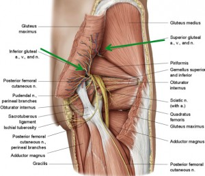 Gluteal region anatomy detail