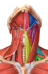 Músculos del cuello. Fuente: www.emaze.com