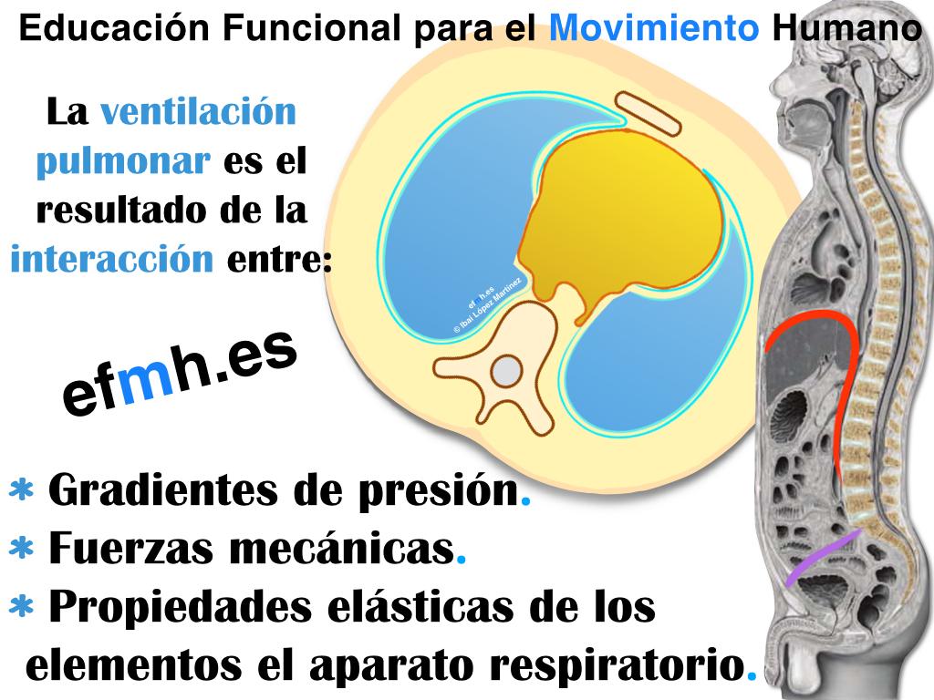 Respiracion__Anatomia_Fisiologia_Fascia_Presiones_2015.001