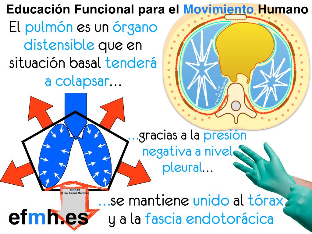 Respiración: anatomía fascial, fisiología y presiones para una ...