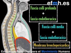 Respiracion__Anatomia_Fisiologia_Fascia_Presiones_2015.007