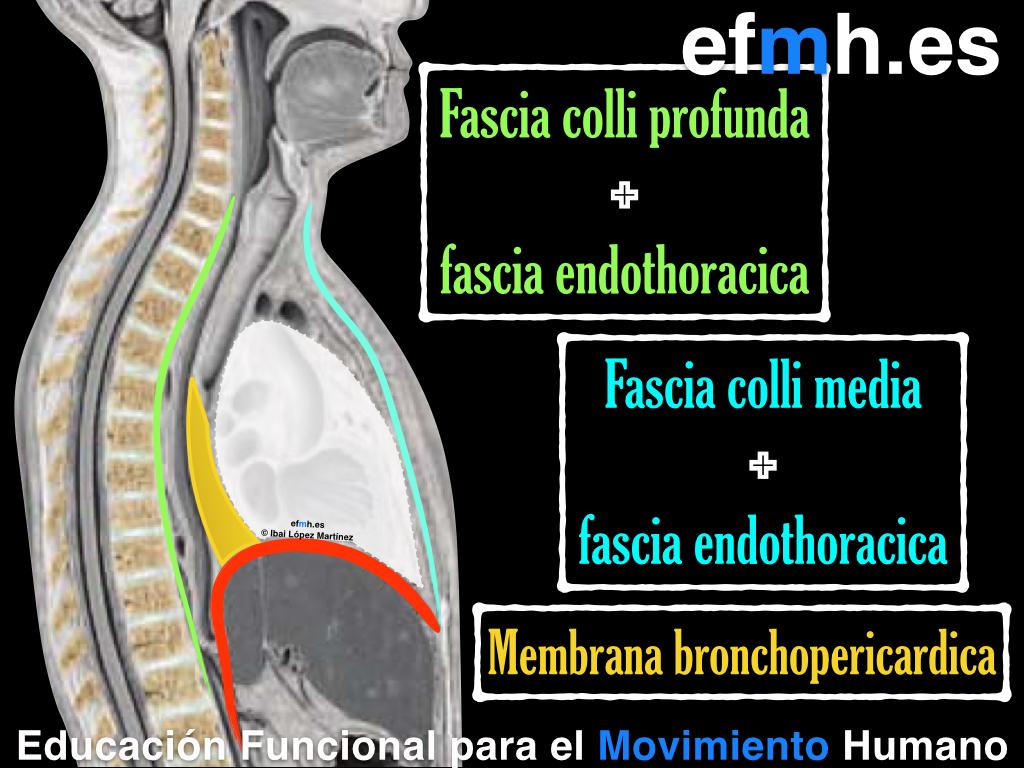 anatomia | EFMH.ES