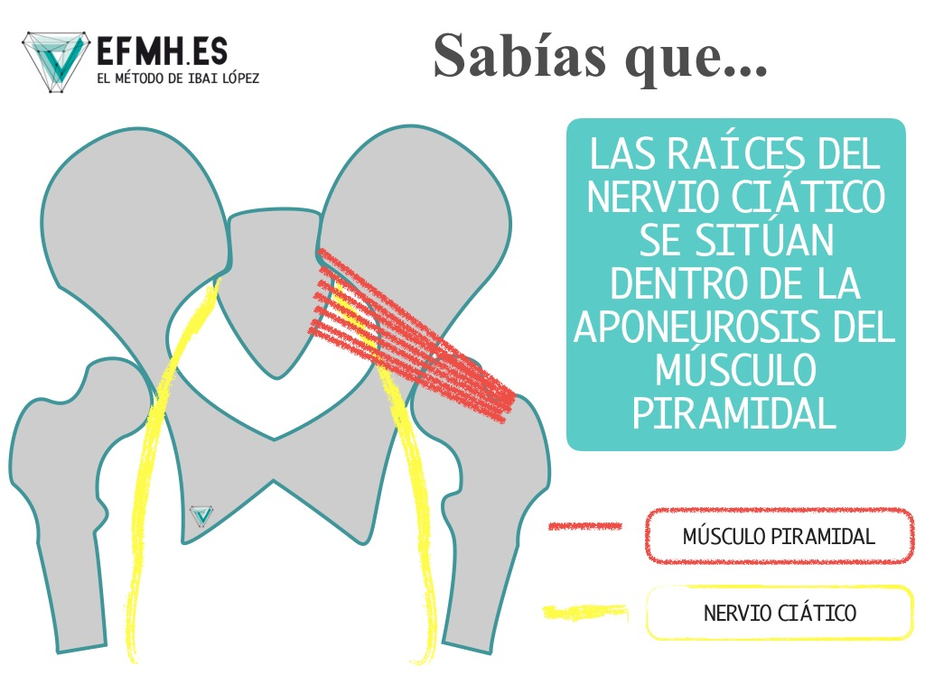 nervio ciático | EFMH.ES